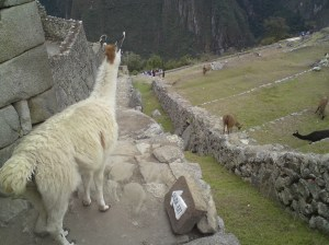 Llamas wandering around the site