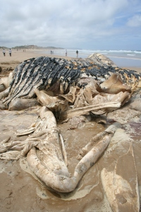 Semi-rotten Humpback Whale