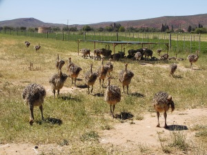 Juvenile Ostriches
