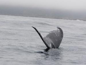 Juvenile Male Humpback Whale