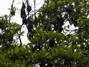 Fruit bats in the botanical gardens
