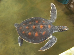 Juvenile Turtle