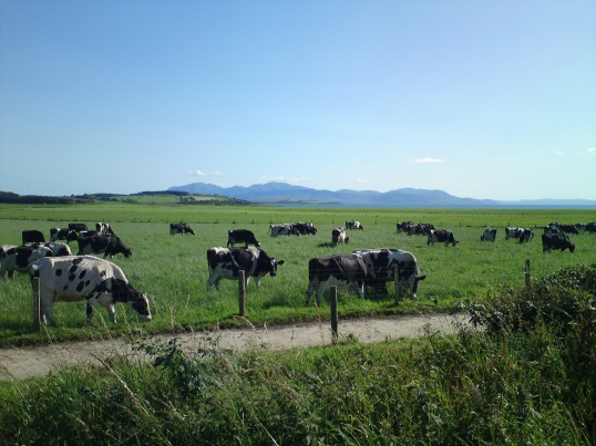Cows on the Isle of Bute