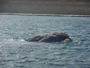 Mother Southern Right Whale
