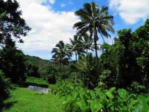 Taro plantations