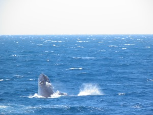 Humpback Whale lunging