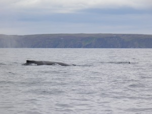 Humpback whale off the west coast of Scotland