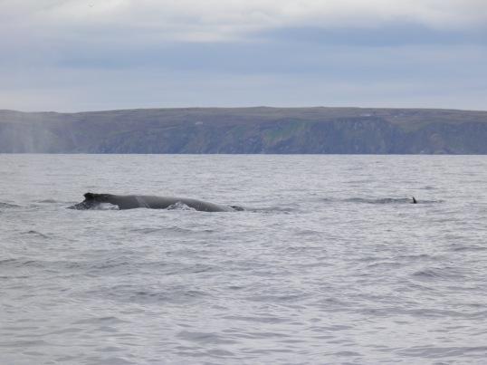 Humpback whale off the west coast of Scotland