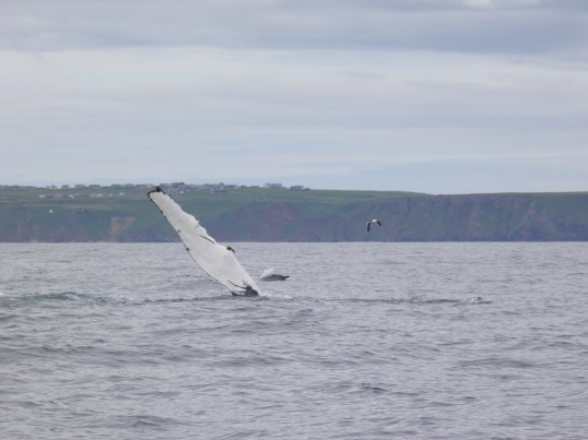Humpback whale fin slapping