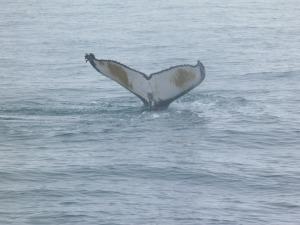 Humpback whale fluking as it dives