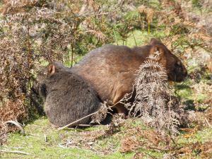 Wombat mum & baby