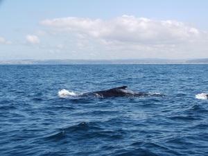 Humpabck Whale