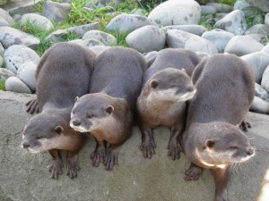 Asiatic Short-Clawed Otters