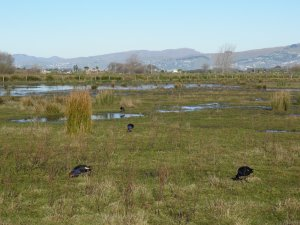 Pukekos at Travis Wetlands