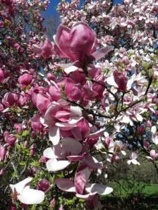 Magnolias in Hagley Park