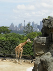 Sydney skyline from Taronga Zoo