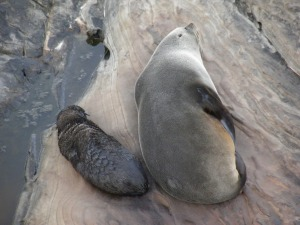 New Zealand Fur Seal mother and pup