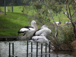 Pelicans by the Torrens River