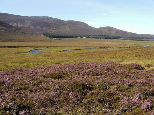 Heather in bloom in Glen Muick