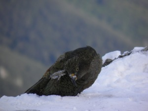 Kea having a scratch