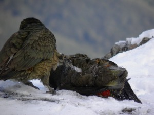 Submissive kea
