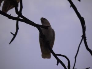 Parrot in Corowa
