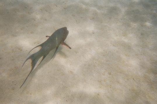 Streamer Hogfish