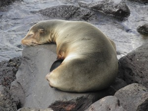 Sea lion sleeping in Puerto Baquerizo Moreno