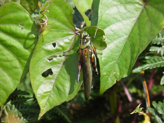 Painted Locust