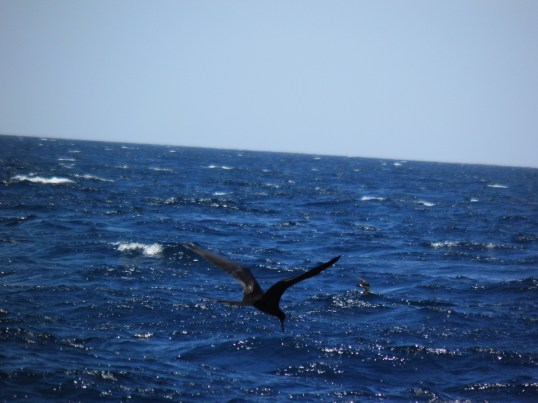 Frigatebird (large) with Storm Petrel (small)
