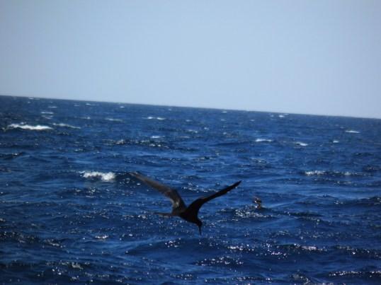 Frigatebird (large) with Storm Petrel (small)