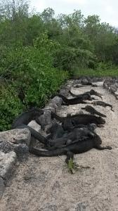 Pile of marine iguanas