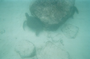Marine turtles under a rock