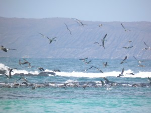 Hundreds of blue-footed boobies