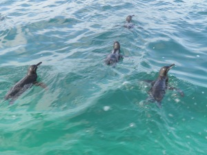 Galapagos penguins swimming