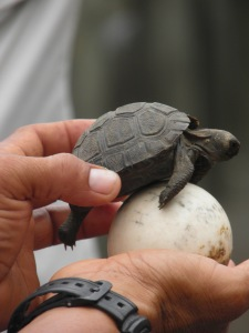 Baby tortoise and a tortoise egg