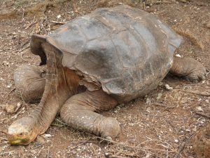 The Galapagos' best breeding male tortoise