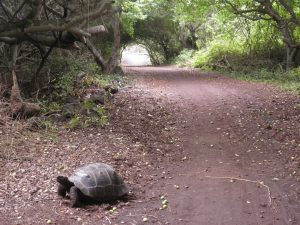 Giant tortoise wandering through the national park