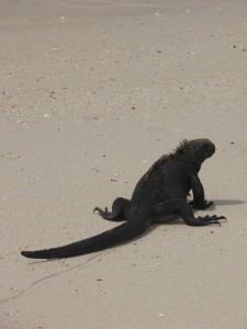 Marine iguana on the beach