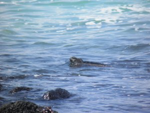 Marine iguana in the surf