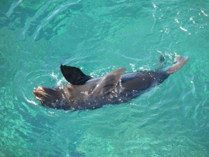 Sea lion swimming in clear water