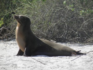 Sea lion on Punta Carola