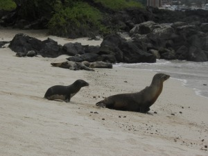 Mother and juvenile sea lion on Playa Mann