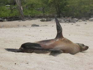Sea lion on Playa Mann