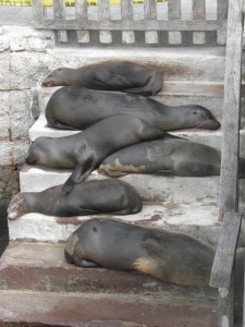 The last sea lions to be seen in the Galapagos