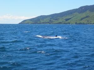 Bryde whale near Coromandel