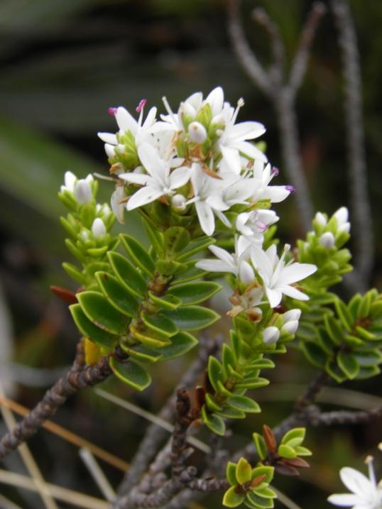 Pretty alpine plant