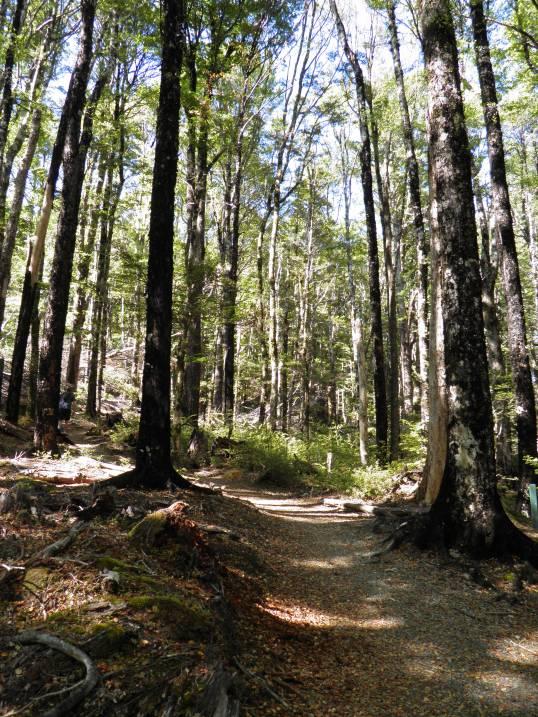 Forest walk on Mt Robert