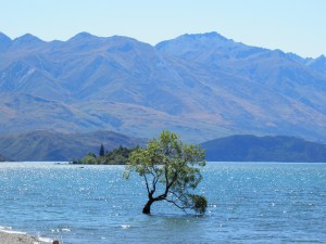 'That' Wanaka tree