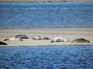 Seals at Loch Fleet
